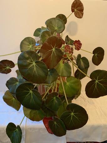 Begonia ethrophylla 'Beefsteak' - Debbie Jordan