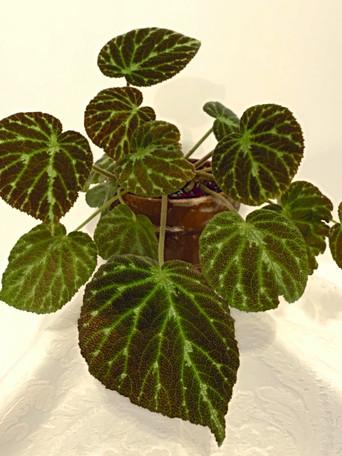Begonia 'Emerald Jewel' - Debbie Jordan