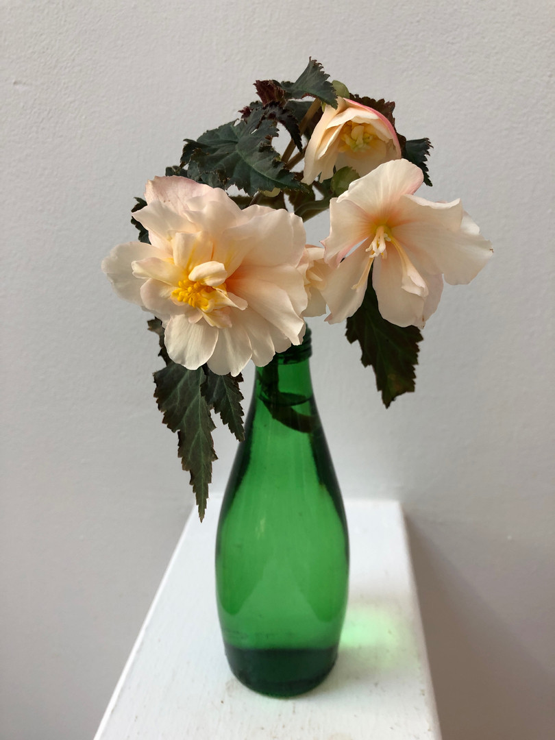 Begonia 'Iconia Portofino Champagne' - Jeannette Ching