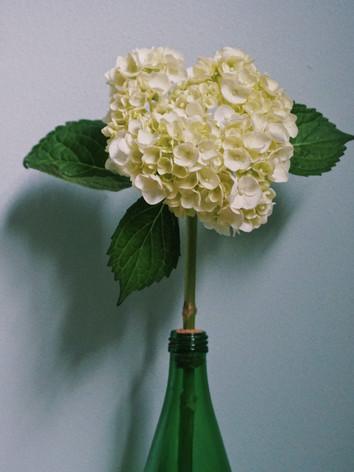 Hydrangea arborescens 'Abetwo' - Kejing Embleton