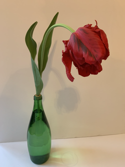 Tulipa 'Rococo Parrot' - Debbie Jordan