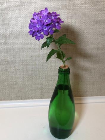 """Verbena canadensis """"Homestead Purple' - Jennifer DelVecchio"""