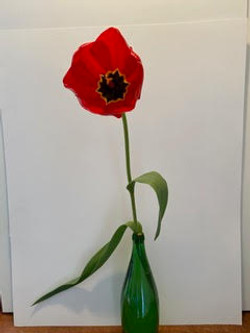 Tulipa 'Apeldoorn' - Mary Funsch