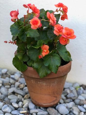 Begonia sp. - Gillian Reeder