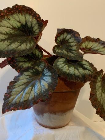 Begonia sp. - Debbie Jordan