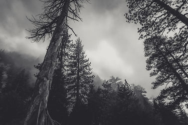 cloudy-conifers-creepy-428429.jpg