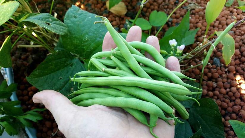 Aquaponic Green Beans