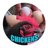 CHICKENS VRING .png