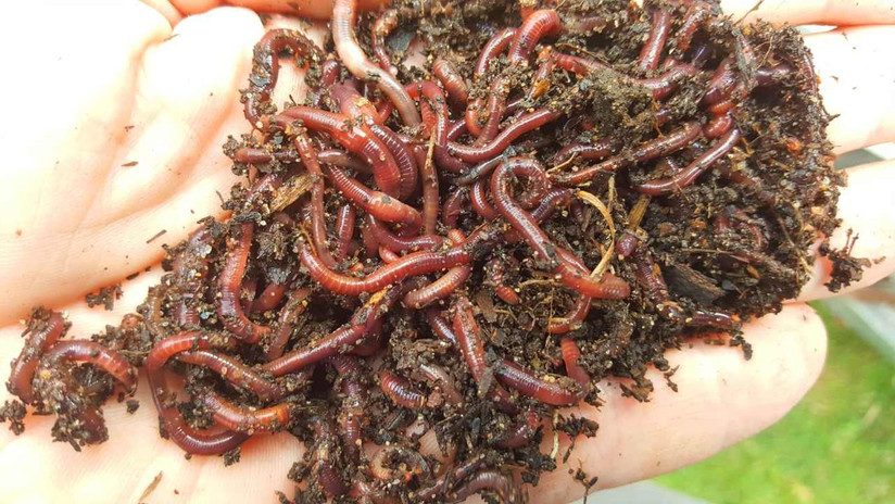 Red Wiggler Compost Worms