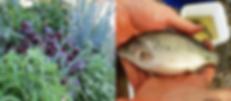 Aquaponic Grow Bed & Jade Perch.png
