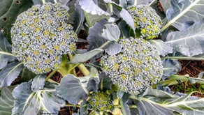 Growing Broccoli + Tasty Brassica Salad Recipe