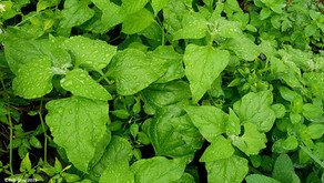 How to Grow Warrigal Greens