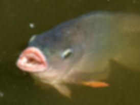 Feeding Tilapia