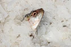 2017-05 Scheveningse vis op ijs