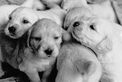 1990-11 Golden Retriever pups