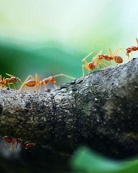 macro-photo-of-five-orange-ants-842401.j