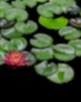 aquatic-aquatic-plant-beautiful-730905.j