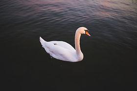 animal-swan-water-34011.jpg