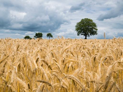 Gewinnung von Cellulose aus Einjahrespflanzen in Deutschland