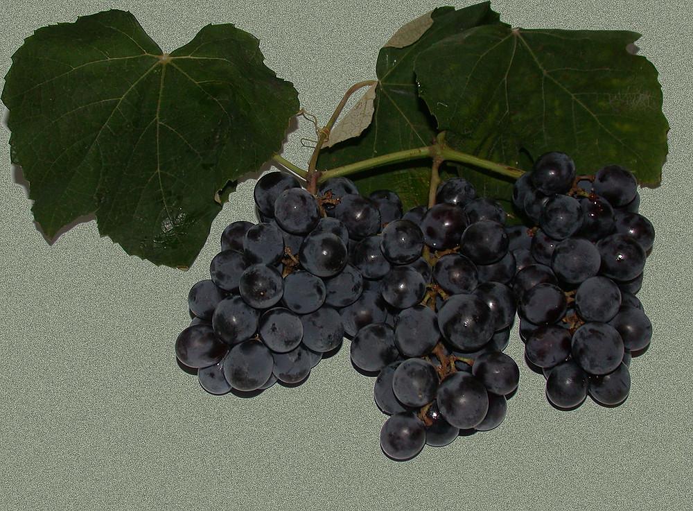 Isabel (casta de uva)