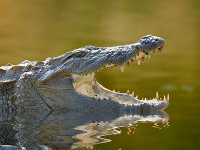 alligator_iStock-533396929.jpg