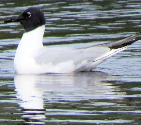 Bonapart's Gull