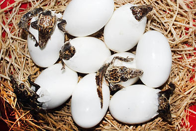 florida-alligators-hatching-eggs.jpg