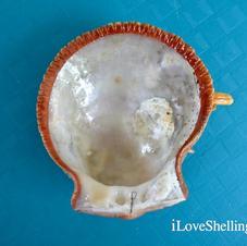 Thorny-Oysters-Spondylus-americanus-inte
