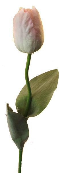 """Тюльпан """"Франс"""" кремовый, Top Art Studio, WAF0593-TA"""