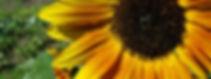 sunny_sunflower_BBG.jpg