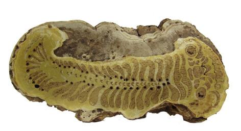 Trilobite Carved Fungus