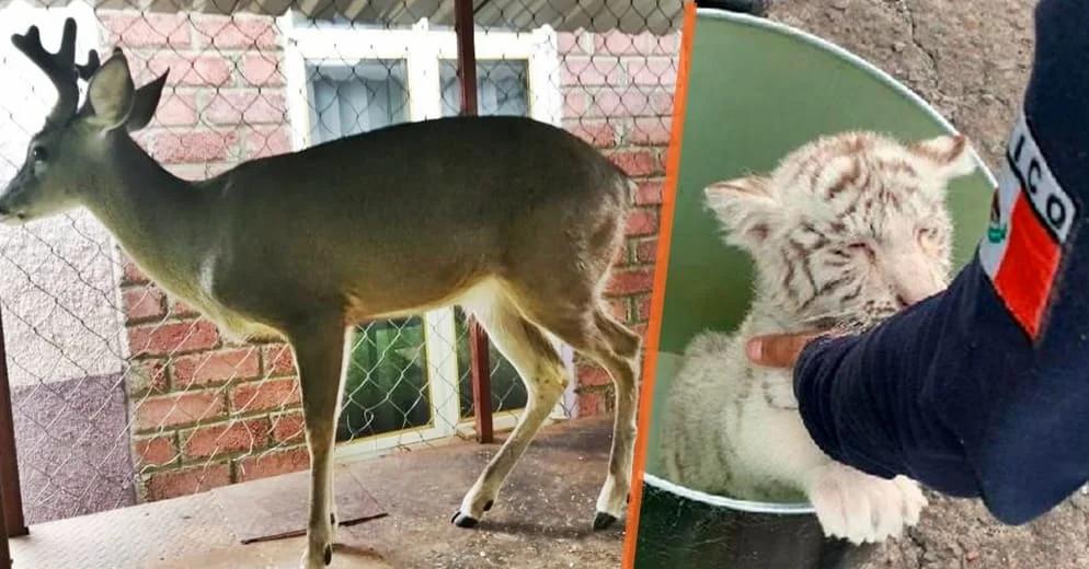 Michoacán Victoria para la naturaleza; rescatan hoy a cachorro de tigre blanco y venado cola blanca