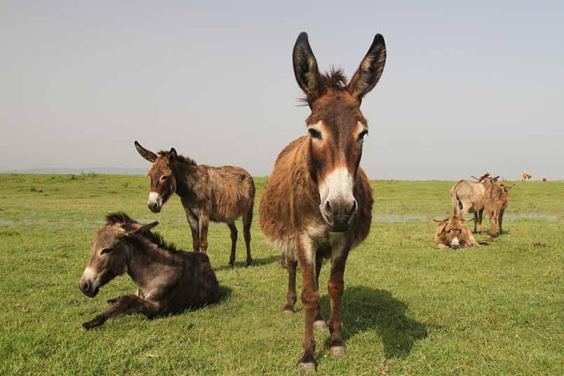 El burro mexicano, ¿Una especie en peligro de extinción?