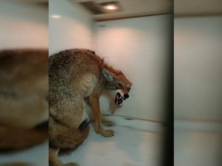 Aseguran y rescatan a coyote que paseaba por las calles de Zamora, Michoacán
