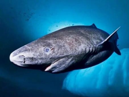 Conoce al animal más longevo del mundo que vive en Groenlandia: un tiburón nacido en 1505