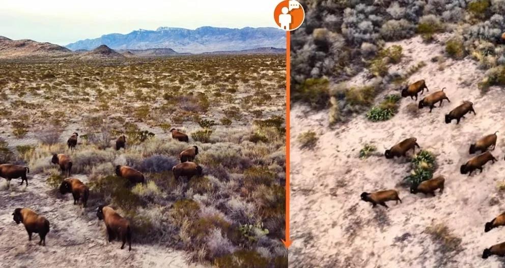 Bisontes vistos en planicies mexicanas tras 100 años de ausencia (+Video)