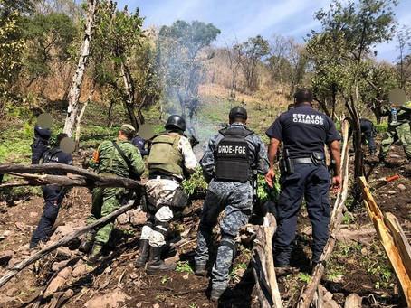 En acción conjunta, se destruyeron 12 mil plantas de marihuana en el municipio de Hidalgo