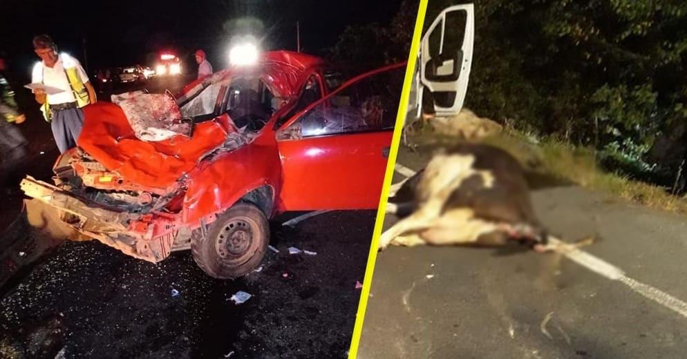 Caracteres: 2090 #Michoacán: Se le atraviesan dos vacas a jóvenes ebrios; así quedo el auto (+Fotos)