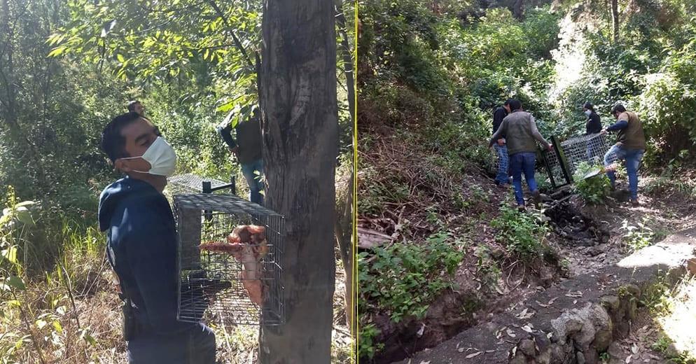 Así es como realizan la búsqueda del puma reportado en el Parque 150 de Morelia (+Fotos)