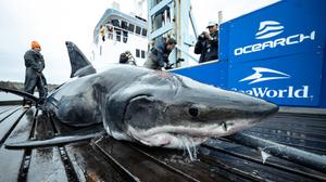 Encuentran a tiburón blanco de 4 metros ¡con mordida hecha por animal más grande!