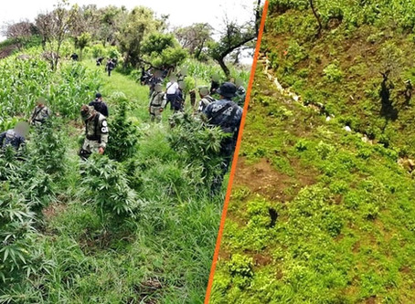 Destruyen 34 mil plantas de marihuana en Tuzantla