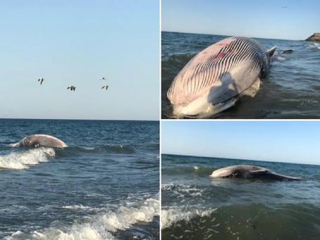 México: Muere ballena que había sido regresada al mar ayer