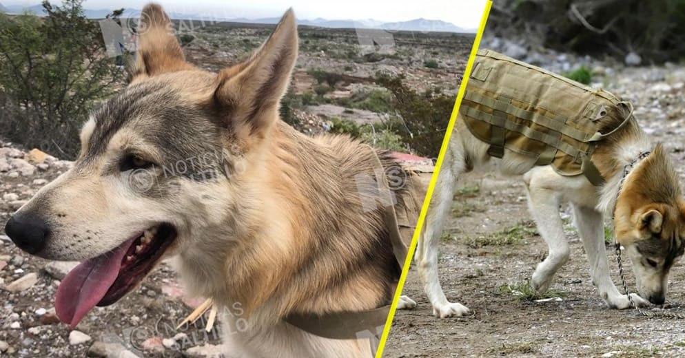 Conoce a Baloc, el lobo mexicano que intenta rescatar a una niña tras el Ciclón Hanna