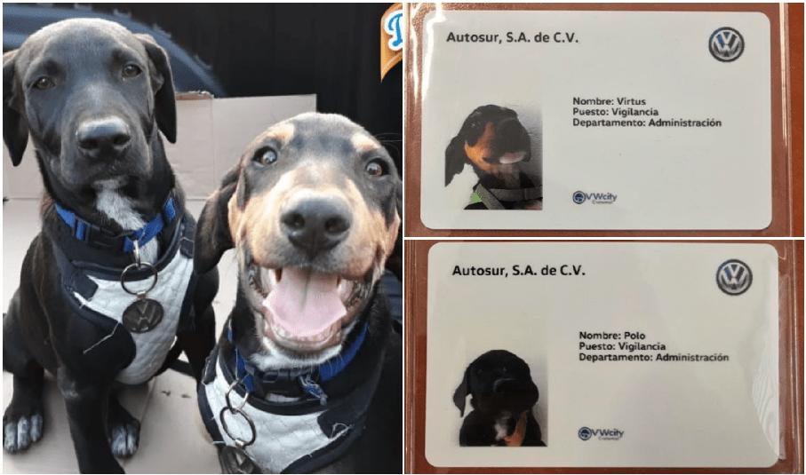 Agencia de autos adopta a dos perritos y los 'contrata' como guardias de seguridad