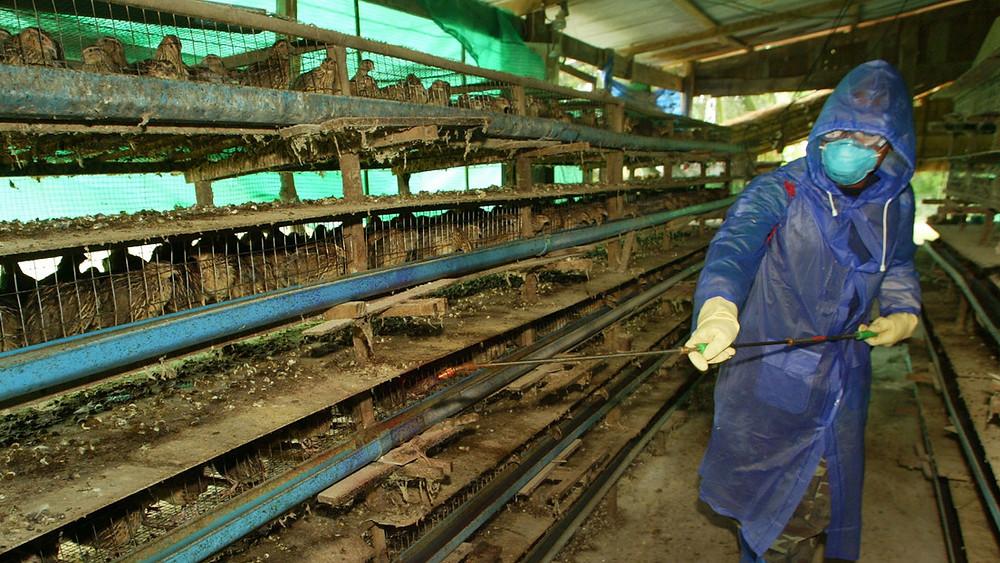 Filipinas detecta un brote de gripe aviar en una granja, en medio de la pandemia de coronavirus