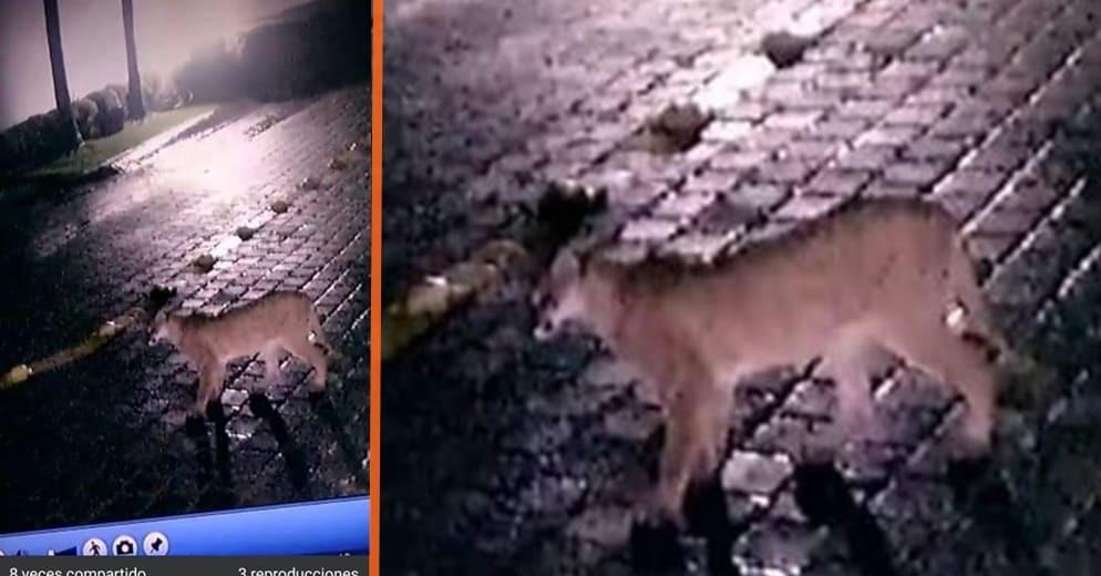 ¿Mascota de pudiente o la naturaleza reclamando lo que es suyo? En Morelia captan a Puma en video