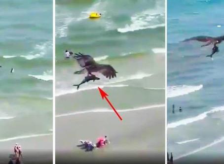 Águila captura a tiburón y se lo lleva volando (+Video)