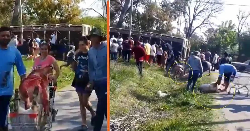 Camión cargado de cerdos choca y la gente degolla a los animales para robarlos (+Videos)