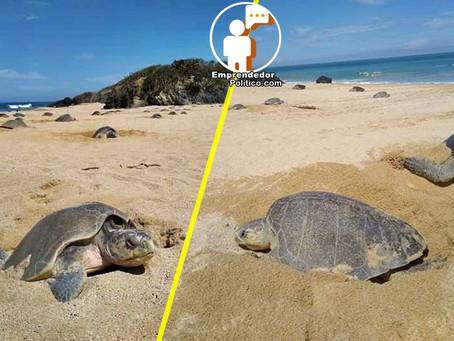 Invitan a observar el desove de tortugas marinas en Aquila