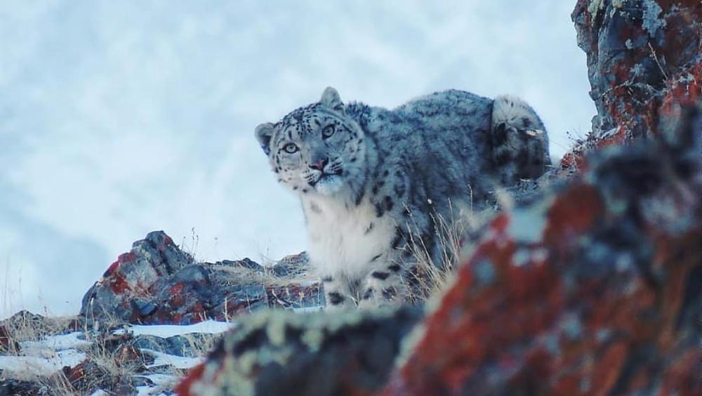 Captan a ejemplar de leopardo de las nieves amamantando a sus crías (+Video)